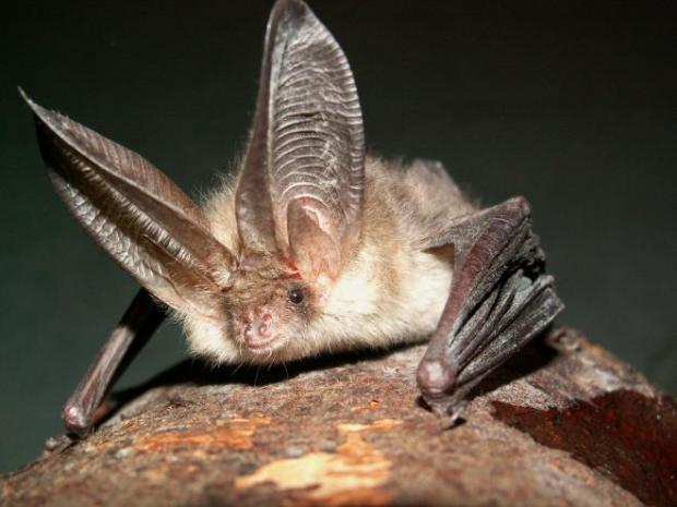 Northern Long-eared Bat recieves some protections on its march to extinction.