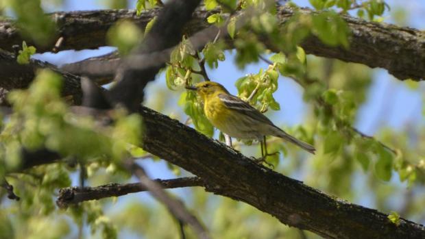 Pine Warbler, Wikimedia
