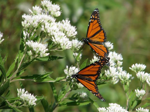 Monarchs at Buffalo's Times Beach Nature Preserve