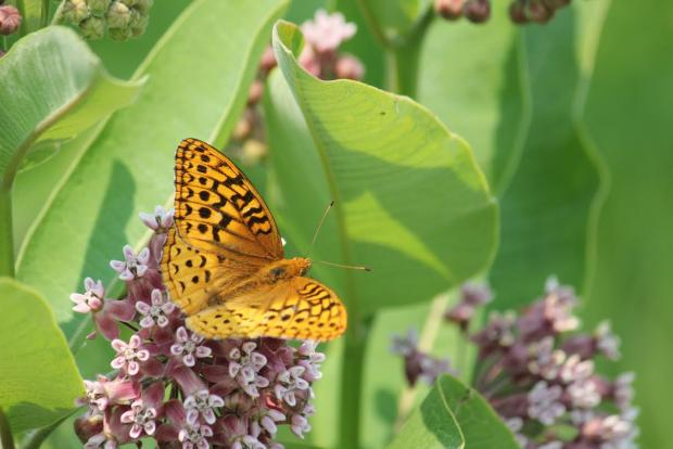 Great Spangled Fritillary on a milkweek flower. Photo by Jay Burney.