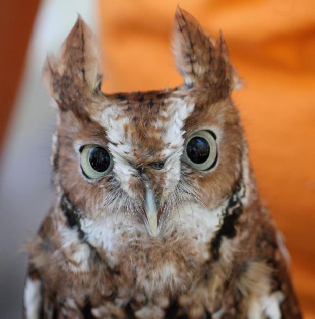 EasternScreech Owl.(Photos by Jay Burney)