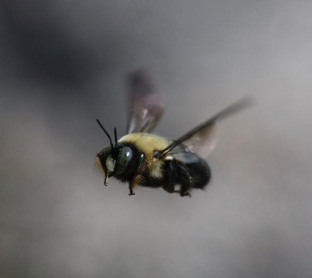 Bombus Americanus, the vanishing American Bumblebee. Photo by Jay Burney/GreenWatch