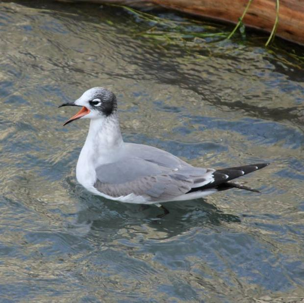 Franklin's gull, foot of Ferry Street, November 12, 2013. This bird migrates to South America. Photo by Jay Burney