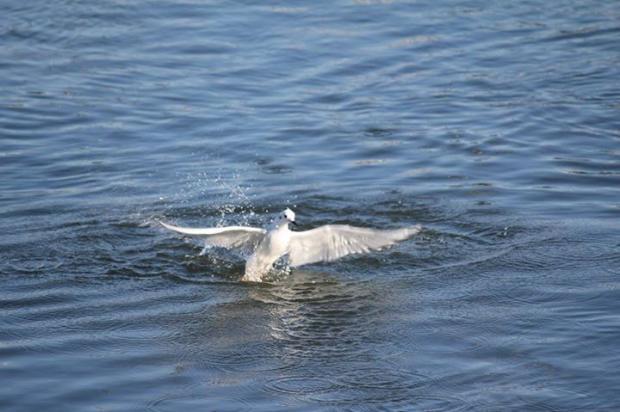 Bonaparte's gull emerging from a deep fishing dive on the Niagara River, November 2015