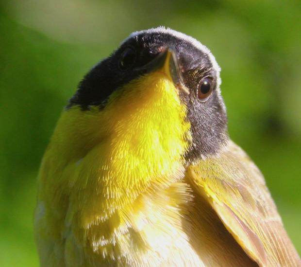 Common Yellowthroat, Photo by Jburney