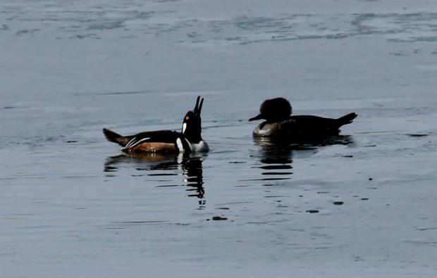 Hooded Merganser male (left), female (right) at Tifft Nature Preserve in Buffalo. Photo Jburney