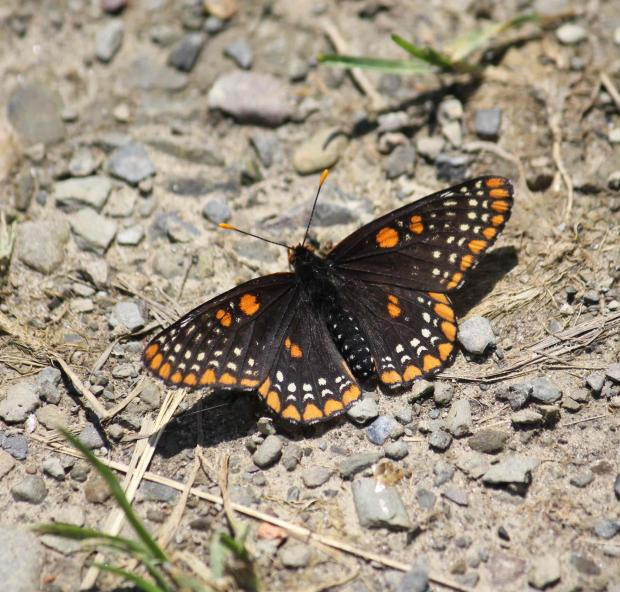 Baltimore Checkerspot  Photo by Jburney