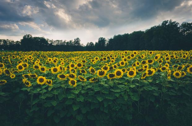 """Sunflower Fields"" by Deganizer via Flickr on the Daily Public Photo Group"