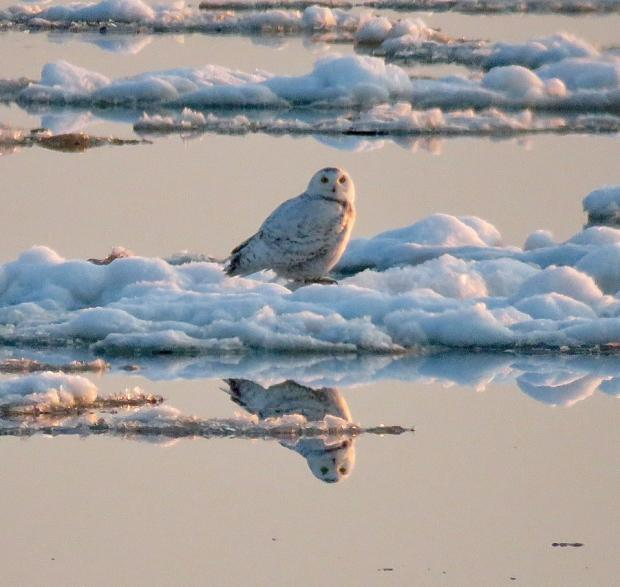 A rare Snowy Owl on Buffalo's Outer Harbor April 21, 2018  Photograph by Jay Burney
