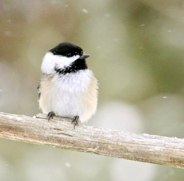 Black-capped Chickadee by jburney