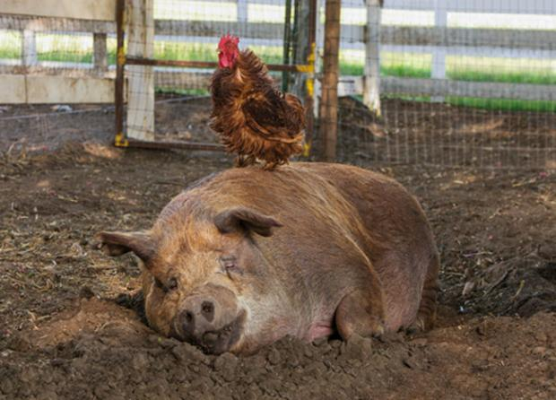 The Biggest Little Farm: Come for the cute pig and the irrascible rooster, stay for the lesson about biodiversity.